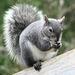 Esquilo-Cinzento-Ocidental - Photo (c) Larry McCombs, alguns direitos reservados (CC BY-NC-SA)