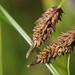 Carex lyngbyei - Photo (c) Tab Tannery, algunos derechos reservados (CC BY-NC-SA)