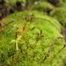 Dicranum scoparium - Photo (c) Emma Harrower, algunos derechos reservados (CC BY-NC)