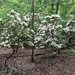 Kalmia latifolia - Photo (c) Ashley M Bradford, μερικά δικαιώματα διατηρούνται (CC BY-NC)