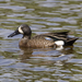 Blue-winged Teal - Photo (c) Rick Leche, some rights reserved (CC BY-NC-ND)