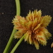 Short-point Flatsedge - Photo (c) Dan Johnson, some rights reserved (CC BY-NC)