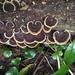 Earliella scabrosa - Photo (c) John Starmer, algunos derechos reservados (CC BY-NC)