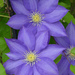 Clematis - Photo (c) Peter Miller, some rights reserved (CC BY-NC-ND)
