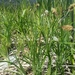Carex macrochaeta - Photo (c) Paul Norwood, algunos derechos reservados (CC BY-NC)