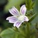 Malva nicaeensis - Photo (c) shira gal, algunos derechos reservados (CC BY)