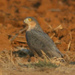 Rufous-breasted Sparrowhawk - Photo (c) Alan Manson, some rights reserved (CC BY-SA)