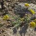 Lomatium foeniculaceum - Photo (c) Jim Morefield,  זכויות יוצרים חלקיות (CC BY)