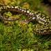 Salamandra Verde - Photo (c) Amber Hart, algunos derechos reservados (CC BY-NC)