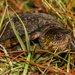 Southeastern Mud Turtle - Photo (c) Amber Hart, some rights reserved (CC BY-NC)