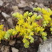 Yellow Stonecrop - Photo (c) J.R.M., some rights reserved (CC BY-NC-SA)