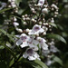 Prostanthera lasianthos - Photo (c) Nuytsia@Tas, algunos derechos reservados (CC BY-NC-SA)