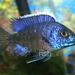 Flavescent Peacock Cichlid - Photo (c) That Fish Place/That Pet Place, some rights reserved (CC BY-SA)