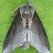 Pheosidea elegans - Photo (c) Seabrooke Leckie, algunos derechos reservados (CC BY-NC-ND)