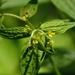 Lithospermum latifolium - Photo (c) Mark Kluge, μερικά δικαιώματα διατηρούνται (CC BY-NC-ND)