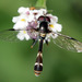 Four-Speckled Hoverfly - Photo (c) cotinis, some rights reserved (CC BY-NC-SA)