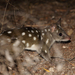 Quolls - Photo (c) r_o_b27, some rights reserved (CC BY-NC)