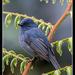Nilgiri Flycatcher - Photo (c) antonygrossy, some rights reserved (CC BY-NC)
