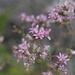 Acourtia microcephala - Photo (c) James Bailey,  זכויות יוצרים חלקיות (CC BY-NC)