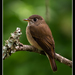 Muscicapa Flycatchers - Photo (c) antonygrossy, some rights reserved (CC BY-NC)