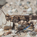 Fontana Grasshopper - Photo (c) Bill Bouton, some rights reserved (CC BY-NC-ND)