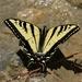 Mariposa Cometa Tigre de Baja California - Photo (c) Tom Benson, algunos derechos reservados (CC BY-NC-ND)