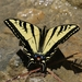 Western Tiger Swallowtail - Photo (c) Tom Benson, some rights reserved (CC BY-NC-ND)