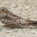 Antillean Nighthawk - Photo (c) Wayne Fidler, some rights reserved (CC BY-NC)
