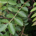 Chinese Sumac - Photo (c) harum.koh, some rights reserved (CC BY-SA)
