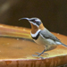 Western Spinebill - Photo (c) BiteYourBum.Com Photography, some rights reserved (CC BY-ND)