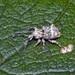 Brachyolus punctatus - Photo (c) jeremy_rolfe, μερικά δικαιώματα διατηρούνται (CC BY)