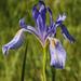 Iris missouriensis - Photo (c) stellarose, algunos derechos reservados (CC BY-NC)