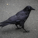 Forest Raven - Photo (c) krismccracken, some rights reserved (CC BY-NC), uploaded by Kris McCracken