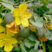 Fremontodendron californicum - Photo (c) James Gaither, μερικά δικαιώματα διατηρούνται (CC BY-NC-ND)