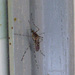 Banded House Mosquito - Photo (c) Peter Birch, some rights reserved (CC BY-NC)