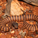 Acanthophis wellsi - Photo (c) r_o_b27, osa oikeuksista pidätetään (CC BY-NC)