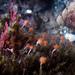 Ectopleura marina - Photo (c) Ken-ichi Ueda, algunos derechos reservados (CC BY)