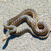 San Diego Gopher Snake - Photo (c) laurahancock, some rights reserved (CC BY-NC)