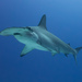 Scalloped Hammerhead - Photo (c) Kris-Mikael Krister, some rights reserved (CC BY)