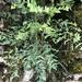 Peucedanum cervaria - Photo (c) Jason Grant, algunos derechos reservados (CC BY)