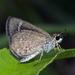 Aeromachus pygmaeus - Photo (c) Vijay Anand Ismavel, osa oikeuksista pidätetään (CC BY-NC-SA), uploaded by Dr. Vijay Anand Ismavel MS MCh