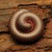 Μυριάποδα - Photo (c) Katja Schulz, μερικά δικαιώματα διατηρούνται (CC BY)
