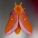 Southern Pink-striped Oakworm Moth - Photo (c) Richard Stovall, some rights reserved (CC BY)