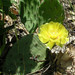 Eastern Prickly Pear - Photo (c) Jason Sturner, some rights reserved (CC BY)