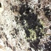 Velvet Lichen - Photo (c) Tomás Curtis, some rights reserved (CC BY-NC)