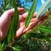Salix laevigata - Photo (c) zabbey, μερικά δικαιώματα διατηρούνται (CC BY), uploaded by Zack Abbey