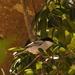 Dryoscopus cubla hamatus - Photo (c) i_c_riddell,  זכויות יוצרים חלקיות (CC BY)