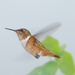 Scintillant Hummingbird - Photo (c) Carol Foil, some rights reserved (CC BY-NC-ND)