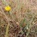 Lesser Hawkbit - Photo (c) Marco Schmidt, some rights reserved (CC BY-NC-SA)