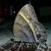 Taygetis asterie - Photo (c) Vilmer Herrera, osa oikeuksista pidätetään (CC BY-NC)